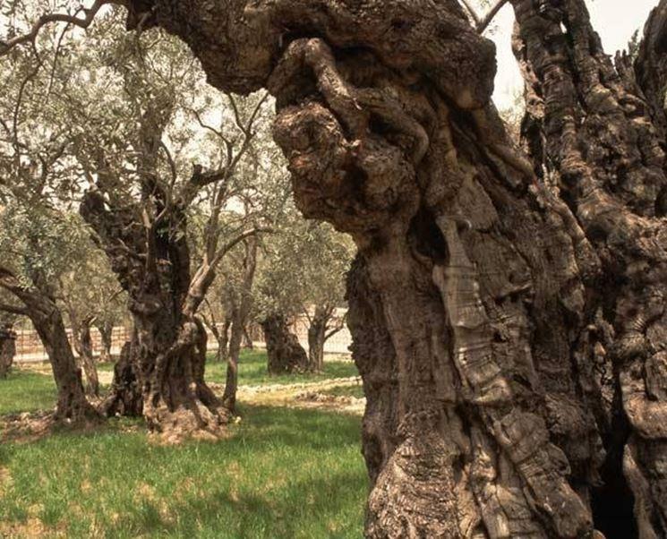 Olivo secolare a Gerusalemme
