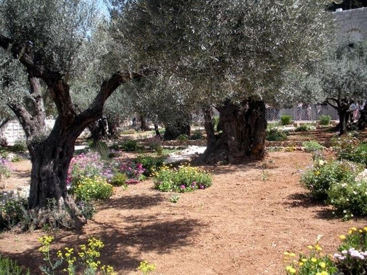 L'orto degli Ulivi a Gerusalemme
