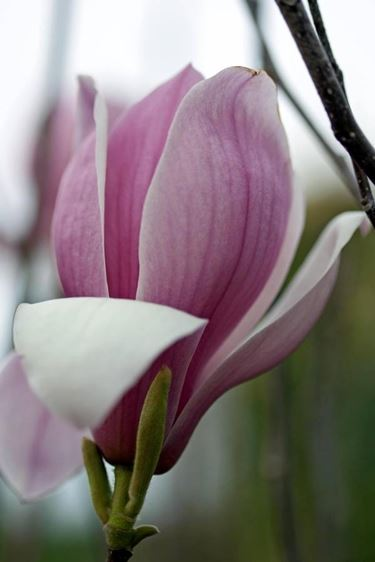 fiore di magnolia obovata