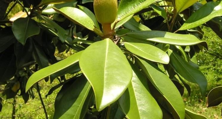 foglie di magnolia grandiflora
