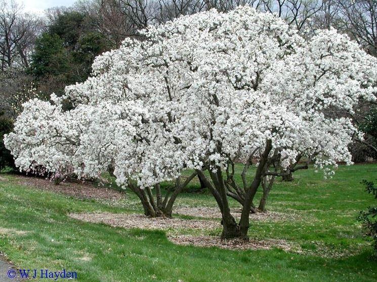 albero di magnolia stellata