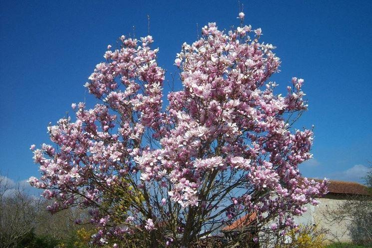 albero di magnolia soulangeana