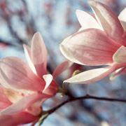 albero magnolia