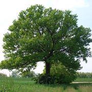 Albero quercia coltivato in piena terra