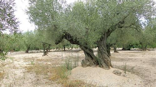 Albero ulivo alberi latifolie potatura e costo albero - Giardino con ulivo ...