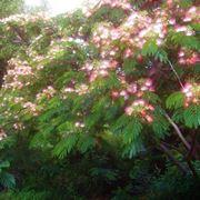 Esemplare di Albizia julibrissin in piena fioritura