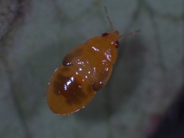 Una larva di Acizzia jamatonica