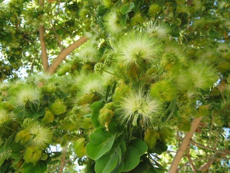 L'albero di albizia lebbeck.