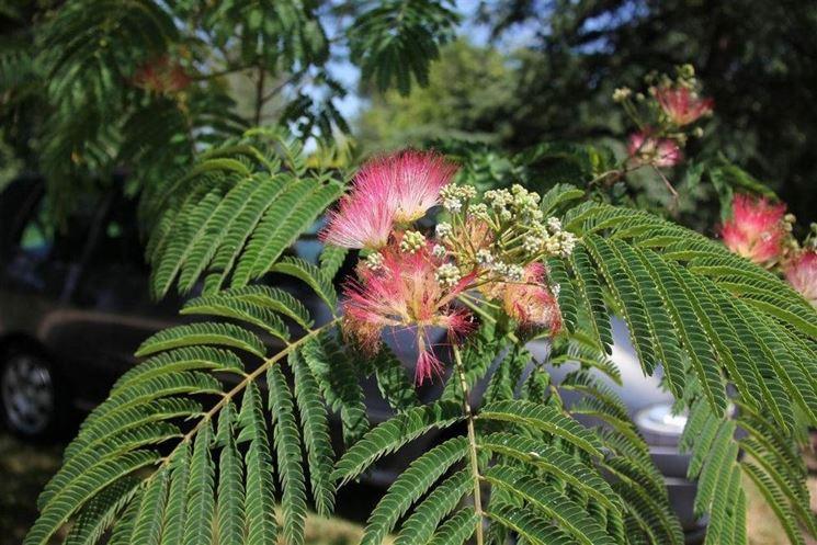 Fiore di albizia julibrissin.