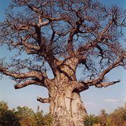 Una pianta di baobab