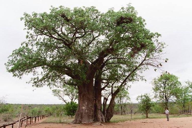 Un grande baobab