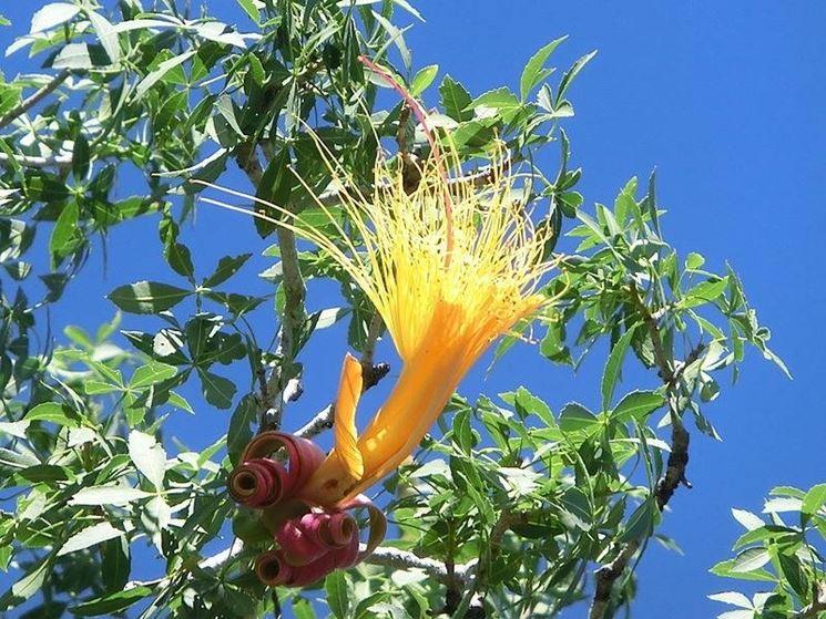 Il fiore della pianta del baobab