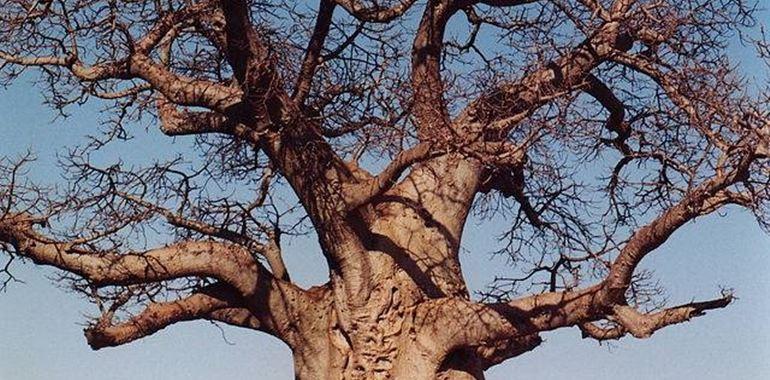 Baobab pianta