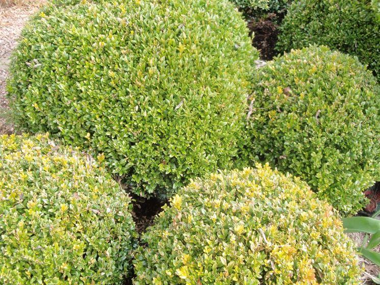 Bosso in vaso alberi latifolie coltivare il bosso in vaso for Pianta bosso prezzo