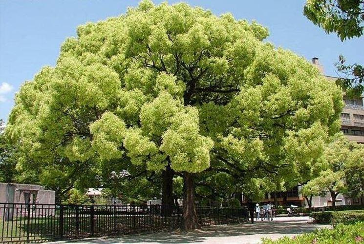 Canfora albero alberi latifolie caratteristiche dell - Albero da giardino ...