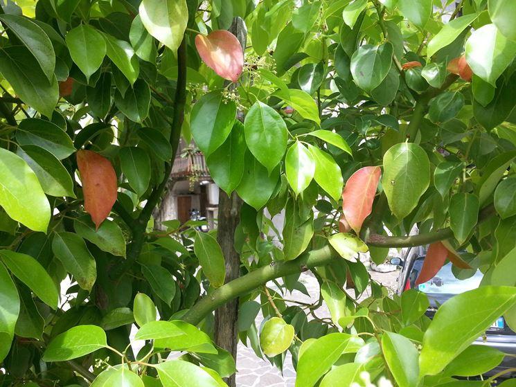 Fogliame dell'albero della canfora