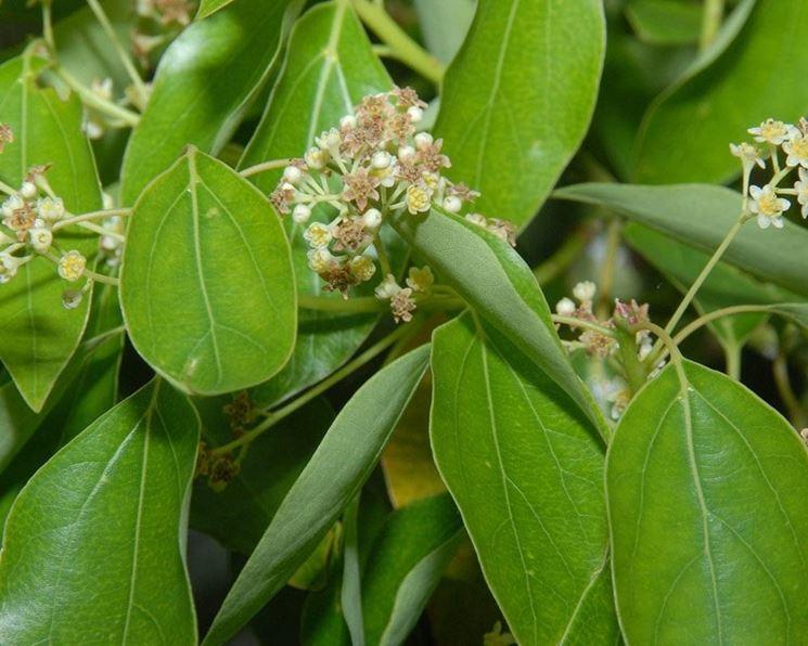 Fiori dell'albero della canfora