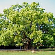Un albero di Canfora nel pieno della sua bellezza