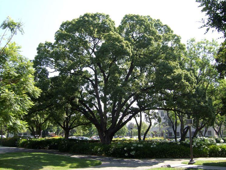 In alcune parti del mondo, l'albero della canfora viene utilizzato anche come