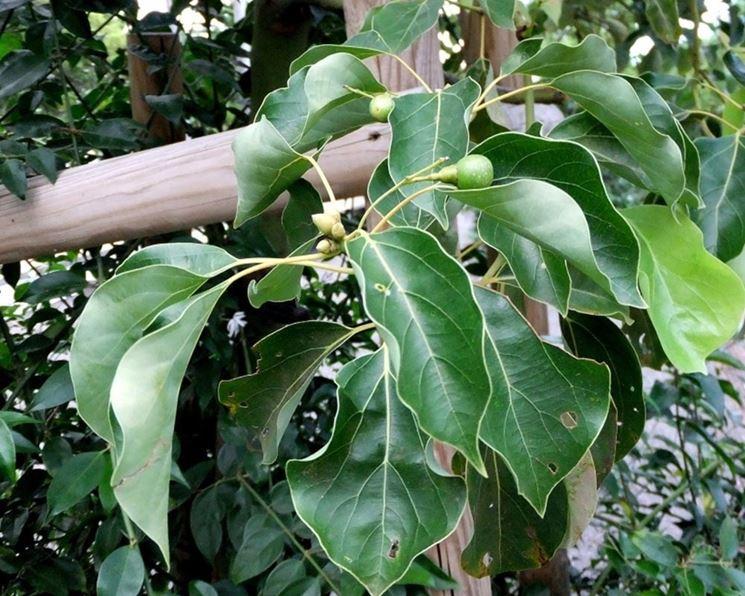 Particolare della corteccia dell'albero di Canfora, da cui viene estratto l'olio dal tipico color paglierino