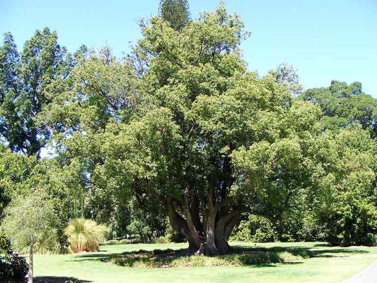 Non c'� nulla che un albero di Canfora possa amar di pi� di un bel sole caldo e luminoso