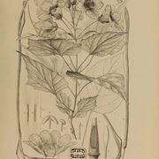 Disegno botanico dei fiori e delle foglie della catalpa bungei