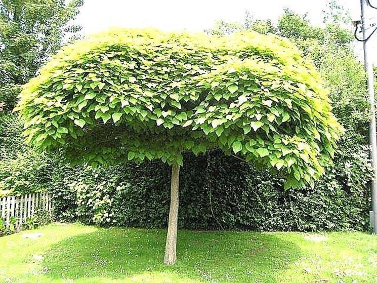 Catalpa bungei alberi latifolie catalpa bungei - Sempreverde da giardino ...