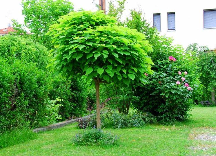 Catalpa bungei alberi latifolie catalpa bungei - Alberi sempreverdi da giardino ...