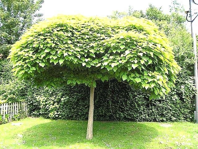 Catalpa bungei alberi latifolie catalpa bungei for Alberi sempreverdi da ombra