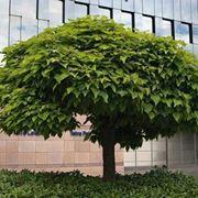 Catalpa bungei alberi latifolie catalpa bungei - Catalpa zanzare ...