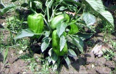 Una pianta di peperone