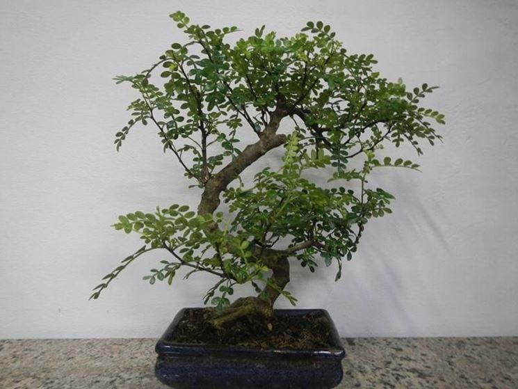 Un pepper tree bonsai