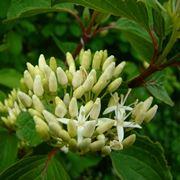 Fiore di Cornus sanguinea