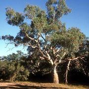 Un maestoso esemplare di Eucalyptus camaldulensis