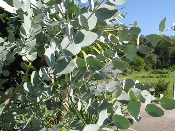 Fronde giovanili di Eucalyptus cinerea