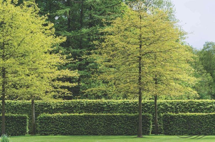 faggio alberi latifolie curare il faggio. Black Bedroom Furniture Sets. Home Design Ideas