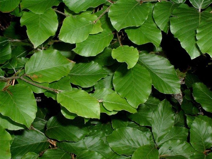 foglie di faggio