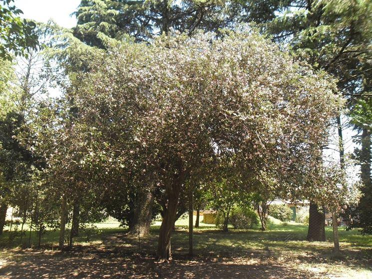 Arbusto di feijoa sellowiana