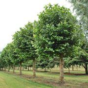 Esemplari di platanus acerifolia