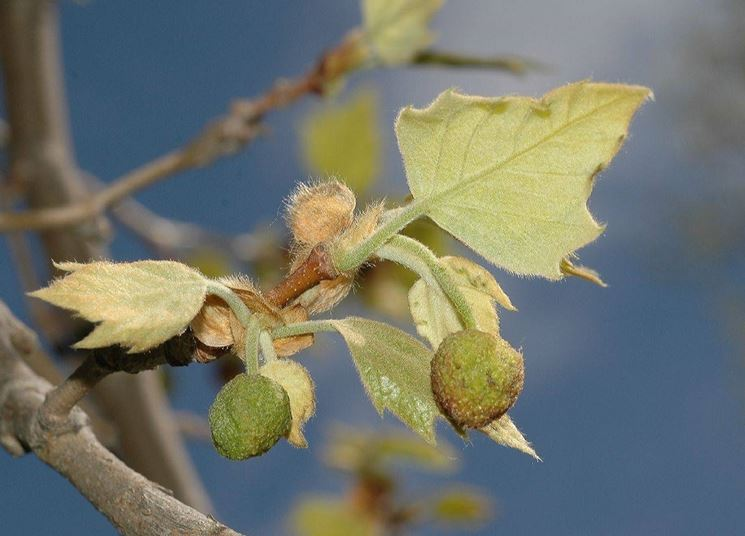 Foglie ed infiorescenze di Platanus Occidentalis