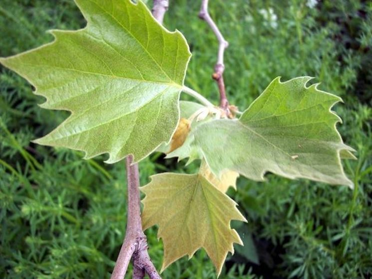 Foglia di Platanus acerifolia