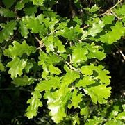 come riconoscere foglia quercia