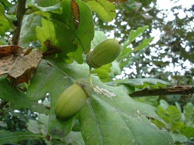 la quercia: un grande albero