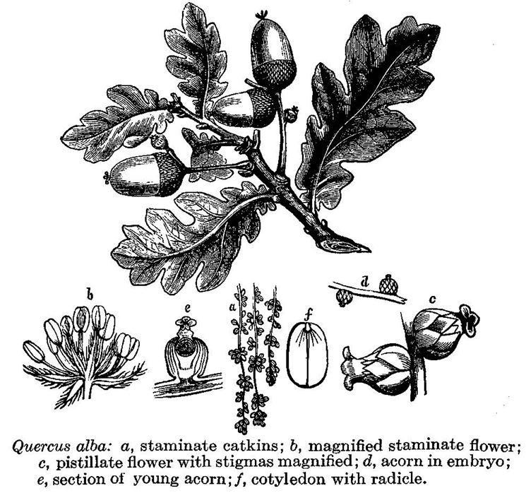 Disegno botanico di una specie di quercia, la Quercus Alba