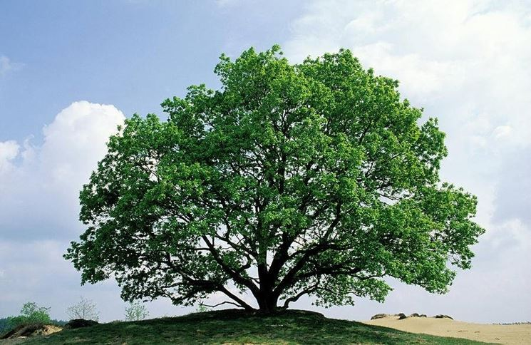 Esemplare di Quercus Robur