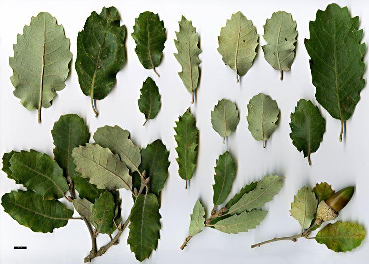 Diverse tipologie di foglie di quercia