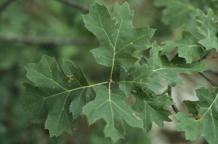 Foglie di quercia sul ramo