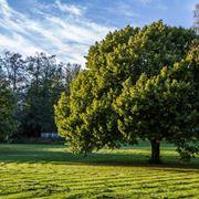 Foglie di quercia alberi latifolie quercia foglie for Alberi simili alle querce