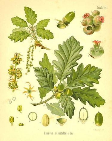 Le foglie di Quercia in medicina