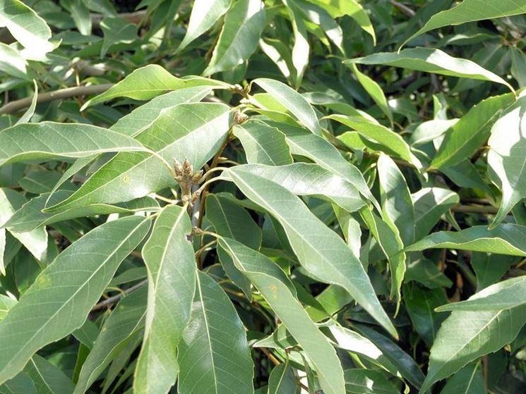 La Quercia a foglie di bambu'